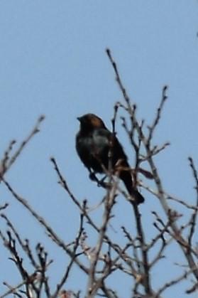 _DSC6660 Brown-headed Cowbird