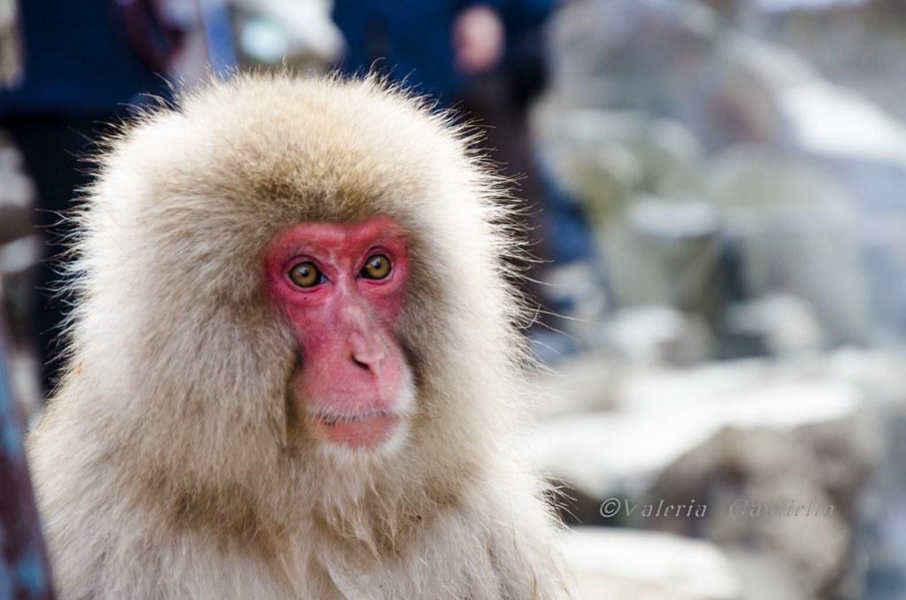 Snow Monkey Park - Giappone fai da te