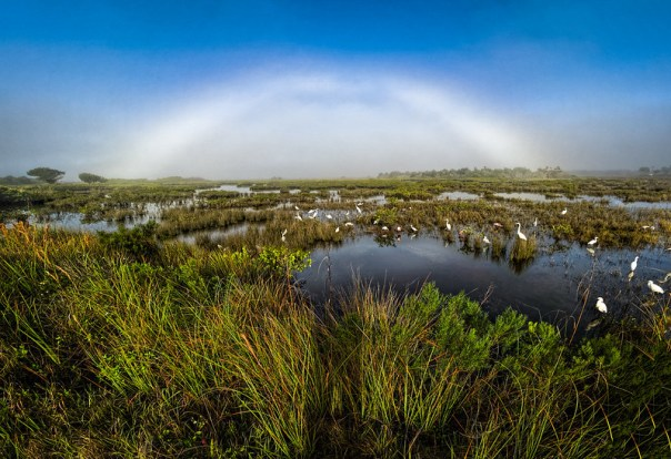 Fogbow and birds in the misty morning marsh