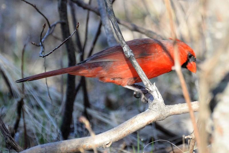 _DSC6113 Northern Cardinal (m)