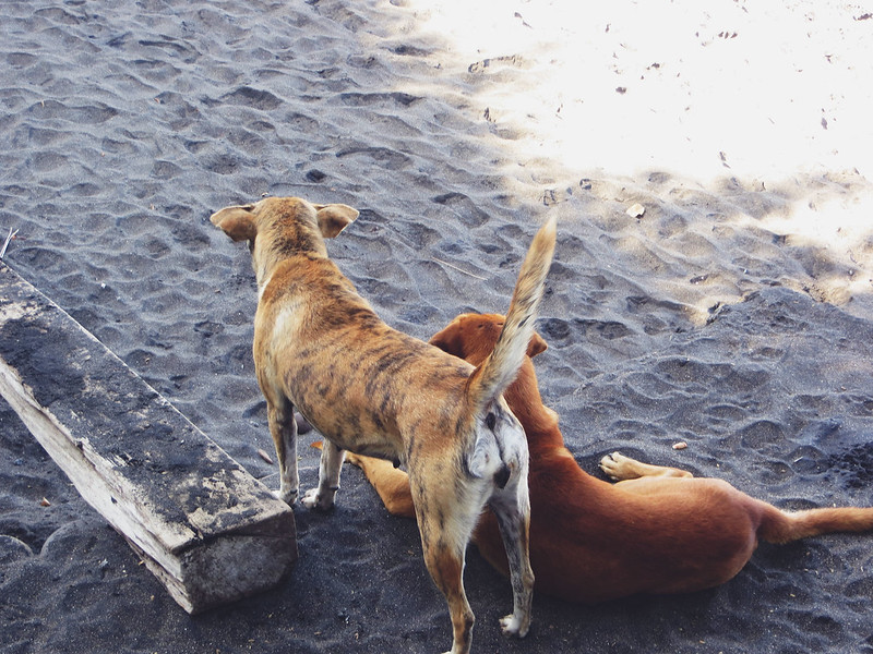 Dogs of Bali