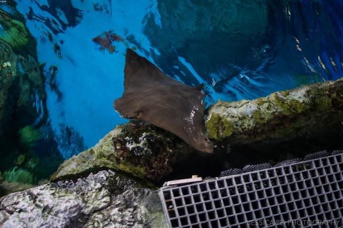 Aquarium of the Pacific Sting Ray