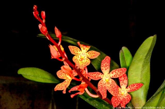 Vandopsis gigantea X Renanthera monachica