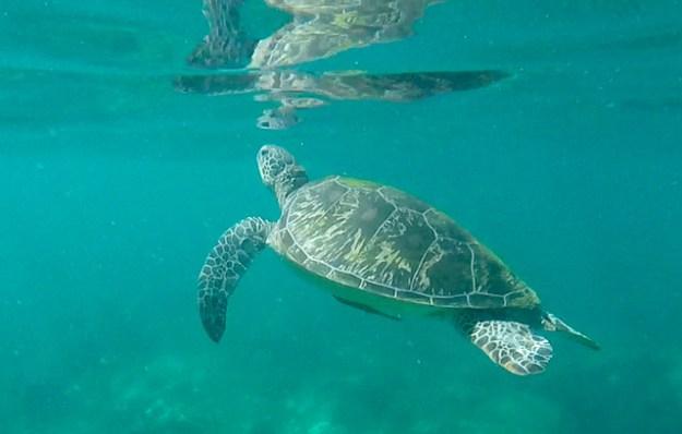 Turtle. Apo Island