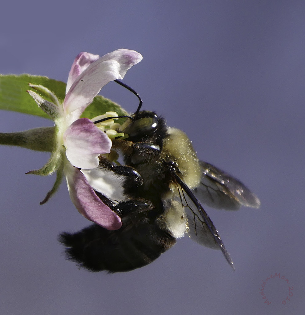 Bombus on apple