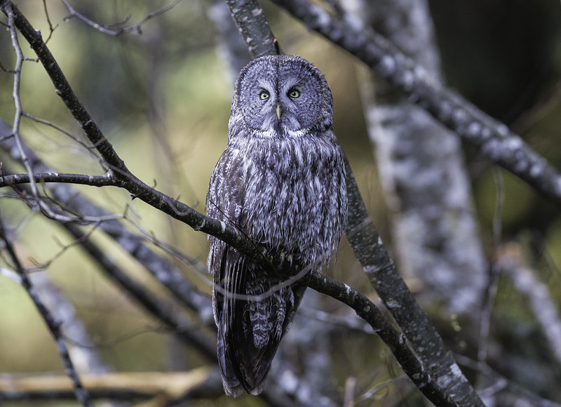 Great Gray Owl (602_9960-1)