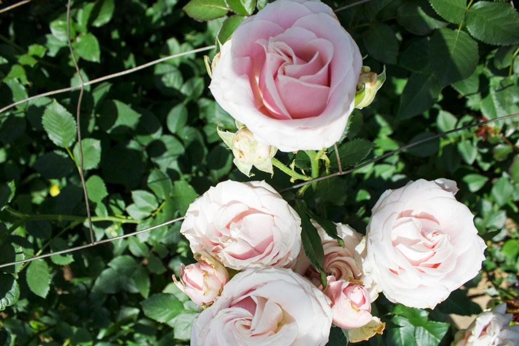 longwood-rose-garden