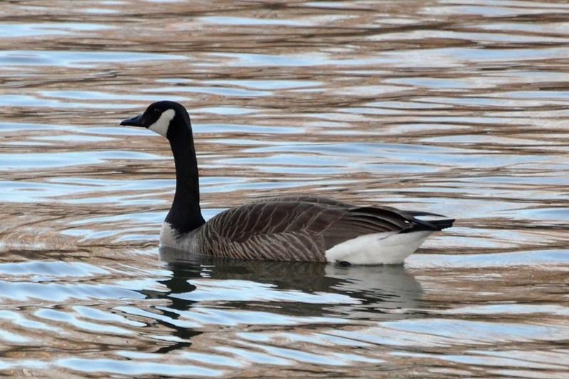 _DSC2476 Canada Goose