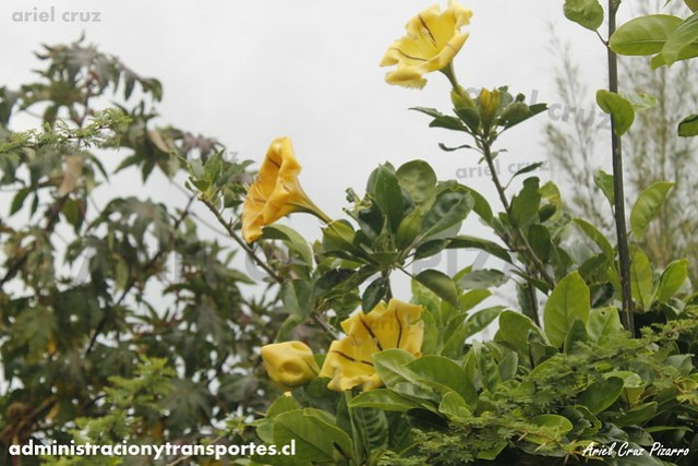 Jardín Botánico Tau Kiani (Isla de Pascua) - Copa de oro (Solandra maxima)