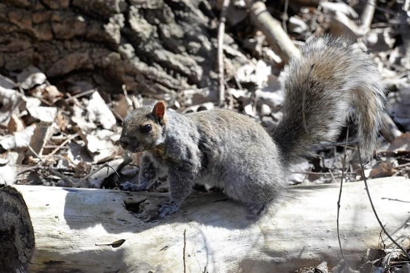 _DSC6058 Gray Squirrel