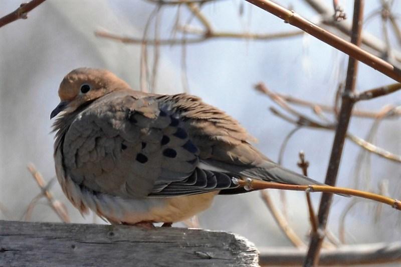 _DSC5787 Mourning Dove