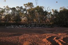 cockatoos dry river