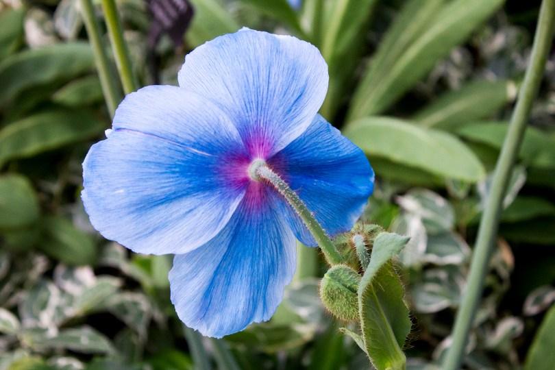 longwood-blue-poppy-back