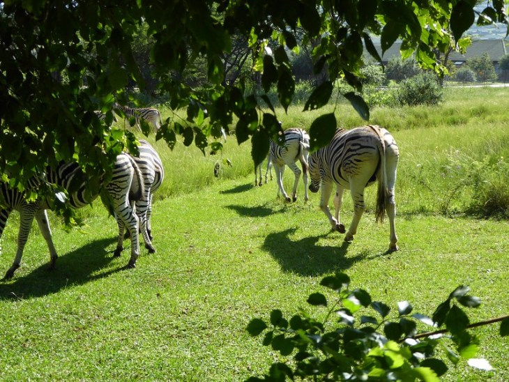 Relaxing in Howick with the zebras