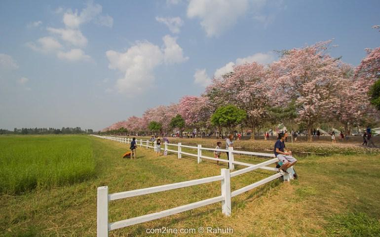 ต้นชมพูพันธุ์ทิพย์ - สาธิตเกษตร กำแพงแสน