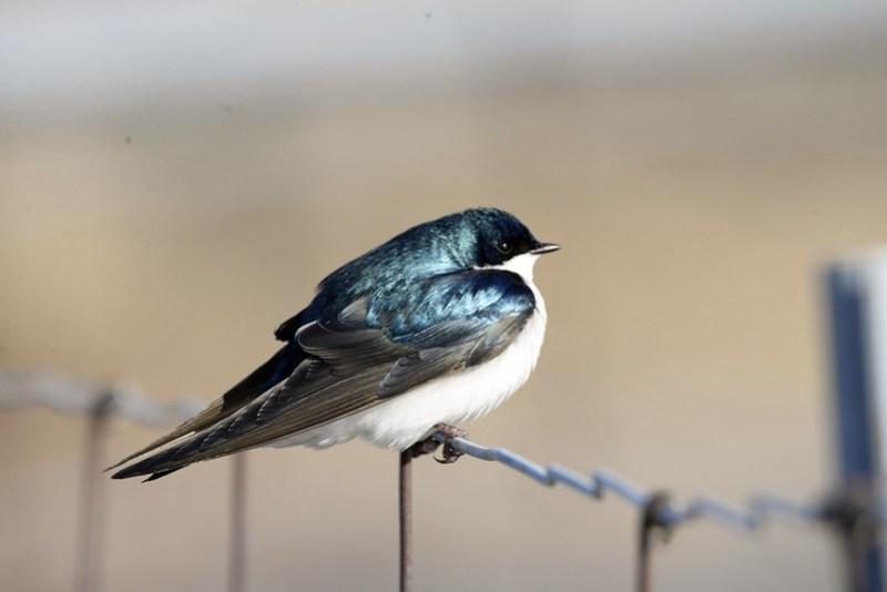 _DSC5661 Tree Swallow