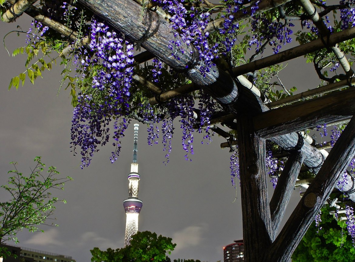Kameido Wisteria Night illuminations