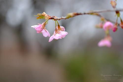 桜 20160229-DSCF9618