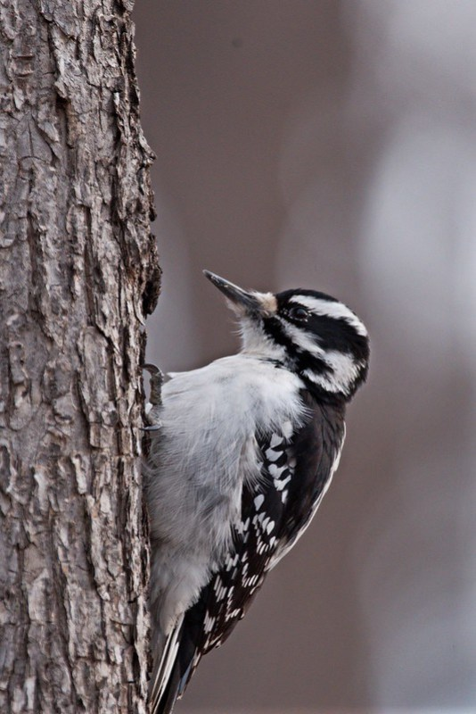 _DSC4426 Hairy Woodpecker