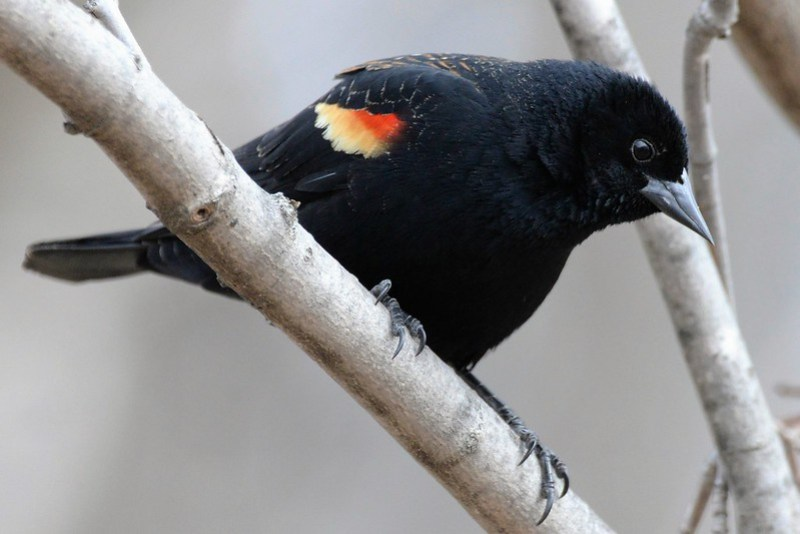 _DSC3132 Red-winged Blackbird