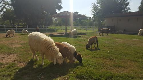 มีฟาร์มแกะให้เราไปถ่ายรูป