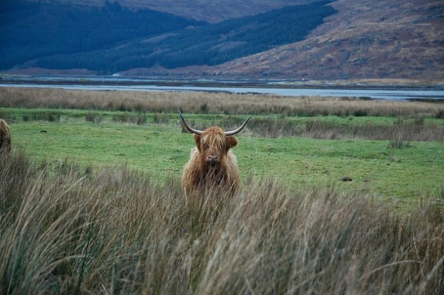 Highland Cows - Mull