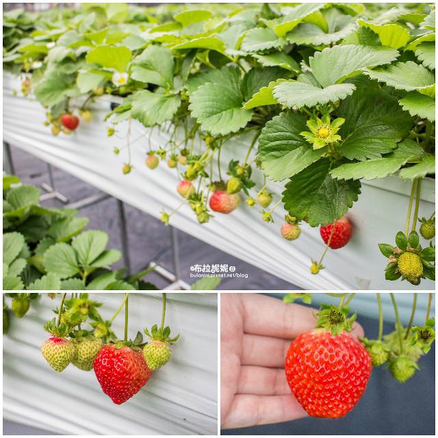 【苗栗大湖採草莓】瘋草莓!苗栗大湖採草莓推薦&草莓小吃@大湖酒莊 @ 布拉妮妮問吧♥BuLaNiNi :: 痞客邦