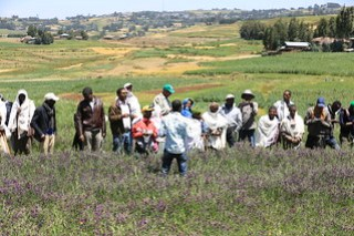 Oat-vetch mixture fodder production at Gudo Beret (Photo by Apollo) (2)