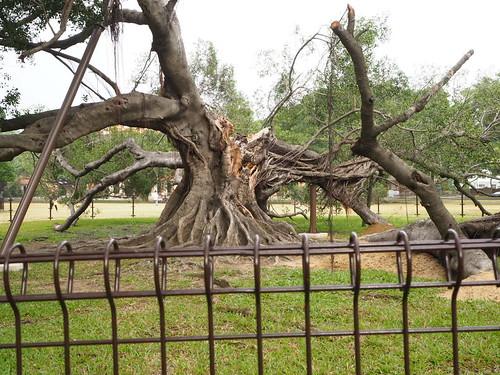 成功大学折れたガジュマルの木