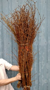 forsythia prior to shipment