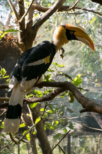 Great hornbill at the botanical gardens. Pyin Oo Lwin