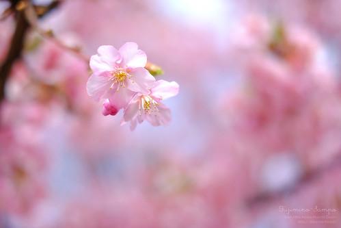 河津桜 20160222-DSCF8271