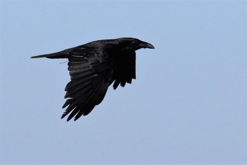 _DSC5672 Raven