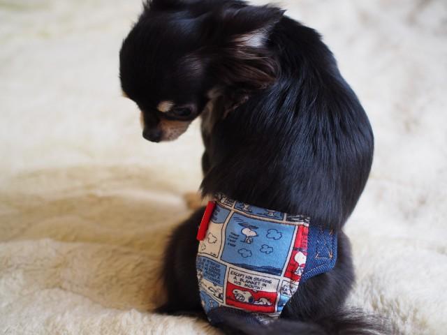 マナーベルトを着用してドッグカフェを利用する子犬