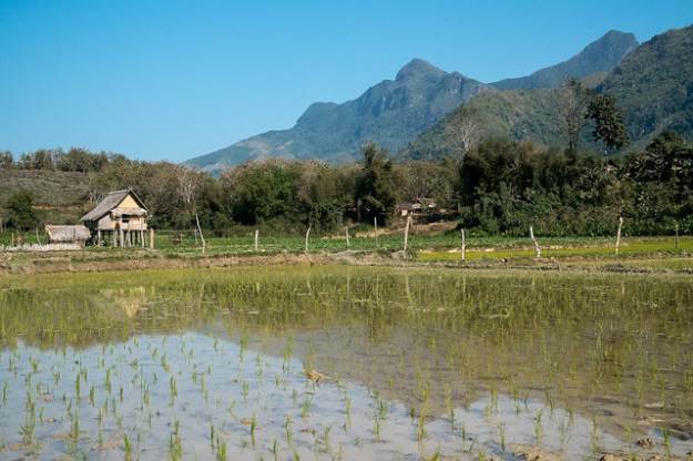 Wet rice paddy. Nong Khiaw