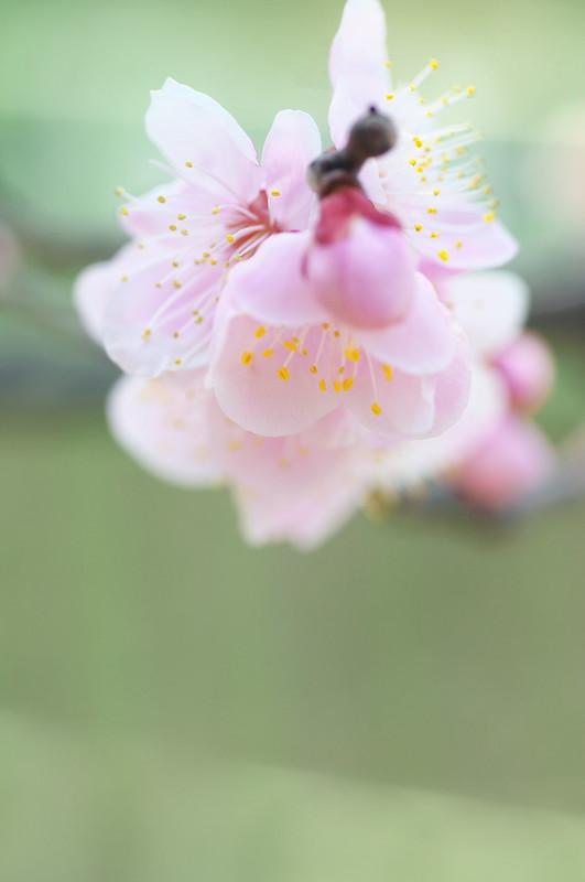 梅(長居植物園)