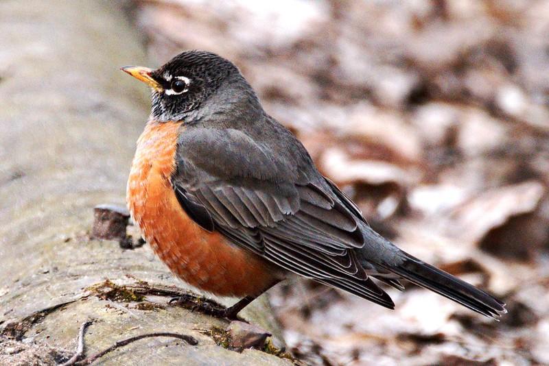 _DSC4420 American Robin