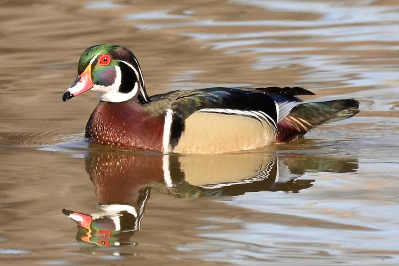 _DSC5977 Wood Duck