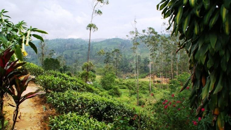 Zesta Tea Cup - Tea Plantations Nearby