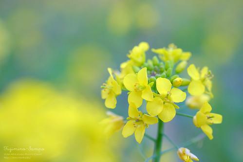 菜の花 20160214-DSCF7285