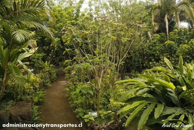 Jardín Botánico Tau Kiani (Isla de Pascua) - Mahute