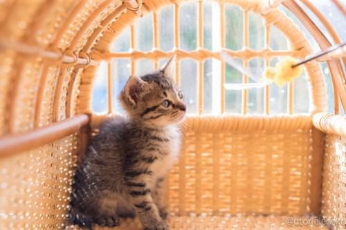 アトリエイエネコ Cat Photographer 42337367652_104b70555b 1日1猫!高槻ねこのおうち まだまだいるよ子猫達! 1日1猫!  高槻ねこのおうち 里親様募集中 猫写真 猫カフェ 猫 子猫 大阪 初心者 写真 保護猫カフェ 保護猫 スマホ キジ猫 カメラ Kitten Cute cat