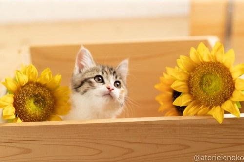 アトリエイエネコ Cat Photographer 42534390141_0e11f28def 1日1猫!おおさかねこ俱楽部 里親様募集中のトマトちゃん♪ 1日1猫!  里親様募集中 猫写真 猫カフェ 猫 子猫 大阪 初心者 写真 保護猫カフェ 保護猫 ニャンとぴあ カメラ おおさかねこ倶楽部 Kitten Cute cat