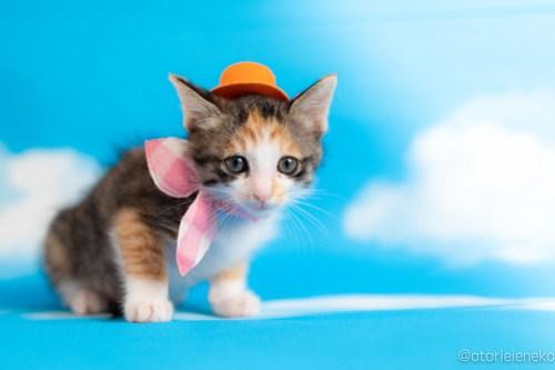 アトリエイエネコ Cat Photographer 41032639970_12c1c756b1 1日1猫!おおさかねこ俱楽部 里親様募集中のウランちゃん♪ 1日1猫!  里親様募集中 猫写真 猫カフェ 猫 子猫 大阪 初心者 写真 保護猫カフェ 保護猫 三毛猫 ニャンとぴあ カメラ おおさかねこ倶楽部 Kitten Cute cat