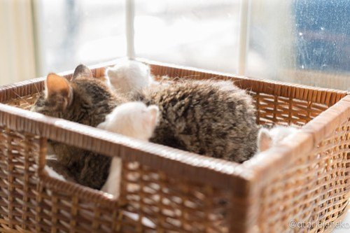アトリエイエネコ Cat Photographer 41484395615_b977a86a82 1日1猫!高槻ねこのおうち キジ猫お母さん子育て中!!! 1日1猫!  高槻ねこのおうち 里親様募集中 猫写真 猫カフェ 猫 子猫 大阪 初心者 写真 保護猫カフェ 保護猫 スマホ キジ猫 カメラ Kitten Cute cat