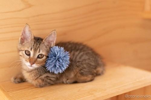 アトリエイエネコ Cat Photographer 27840054897_c8d7ac598c 1日1猫!おおさかねこ俱楽部 里親様募集中のオリバーくん♪ 1日1猫!  里親様募集中 猫写真 猫カフェ 猫 子猫 大阪 写真 保護猫カフェ 保護猫 ニャンとぴあ スマホ キジ猫 カメラ おおさかねこ倶楽部 Kitten Cute cat