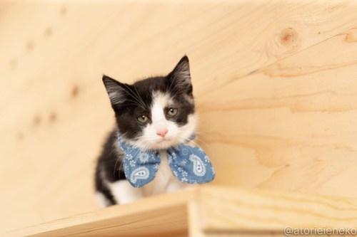 アトリエイエネコ Cat Photographer 28660873438_150043a8c2 1日1猫!おおさかねこ俱楽部 トライアル決定のシオンくん♪ 1日1猫!  里親様募集中 猫写真 猫カフェ 猫 子猫 大阪 初心者 写真 保護猫カフェ 保護猫 ニャンとぴあ カメラ おおさかねこ倶楽部 Kitten Cute cat
