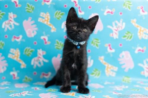 アトリエイエネコ Cat Photographer 42534345631_d8f4f123fc 1日1猫!保護猫カフェねこんチ子猫祭り(6/2)に行ってきた(その3)♪ 1日1猫!  里親様募集中 猫写真 猫カフェ 猫 子猫 大阪 写真 保護猫カフェねこんチ 保護猫カフェ 保護猫 スマホ カメラ Kitten Cute cat