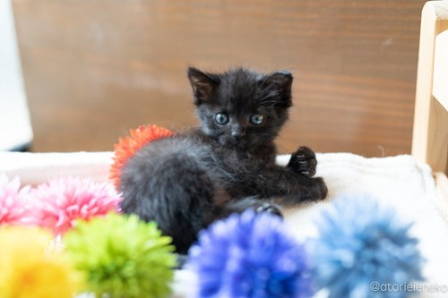 アトリエイエネコ Cat Photographer 42710638191_5b2a603371 1日1猫!CaraCatCafe天使に会いに行って来ました♪ 1日1猫!  里親様募集中 猫 子猫 大阪 初心者 写真 保護猫カフェ 保護猫 スマホ カメラ Kitten Cute cat caracatcafe