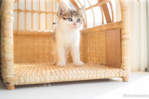 アトリエイエネコ Cat Photographer 41484394665_f79c6338ce 1日1猫!高槻ねこのおうち まだまだいるよ子猫達! 1日1猫!  高槻ねこのおうち 里親様募集中 猫写真 猫カフェ 猫 子猫 大阪 初心者 写真 保護猫カフェ 保護猫 スマホ キジ猫 カメラ Kitten Cute cat